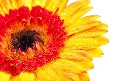 Fine di estremo del Gerbera di colore giallo arancione in su Immagine Stock Libera da Diritti