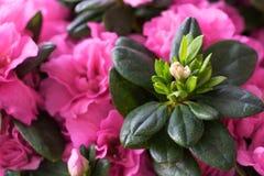 Fine di fioritura di rosa dell'azalea su Immagini Stock Libere da Diritti