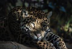 Fine di Jaguar su Fotografia Stock Libera da Diritti