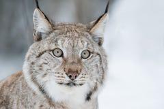 Fine di Lynx su Fotografia Stock Libera da Diritti