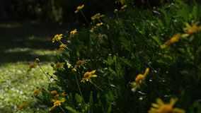 Fine di macro dei fiori della margherita su in natura video d archivio