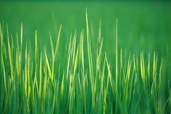 Fine di macro dell'erba verde in su Immagini Stock Libere da Diritti