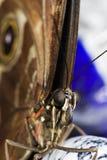 Fine di macro della farfalla in su Fotografia Stock Libera da Diritti