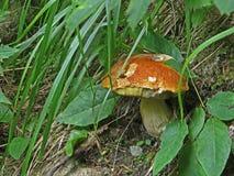 Fine di messa a terra della foresta sulla macro foto con il fungo Immagini Stock