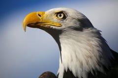 Fine di orizzontale dell'aquila calva su dal lato con il fondo del cielo blu Fotografia Stock Libera da Diritti