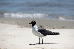 Fine di risata dell'uccello del gabbiano su Fotografie Stock