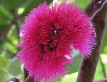 Fine di rosa del fiore della frutta di Bell su alta qualità Fotografia Stock Libera da Diritti