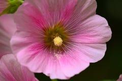 Fine di rosa della malvarosa su Fotografia Stock Libera da Diritti