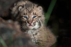 Fine di rufus di Bobcat Kitten Lynx da solo dentro sul ceppo Fotografie Stock