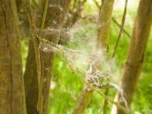 fine di struttura d'attaccatura dei rami di albero del ragno della molla bianca della lanugine immagine stock libera da diritti