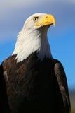 Fine di verticale dell'aquila calva su dalla parte anteriore con il fondo del cielo blu Fotografie Stock