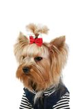 Fine dog. Amusing yorkshire terrier with a red bow Royalty Free Stock Photos