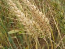 Fine dorata del campo di frumento in su Fotografia Stock Libera da Diritti