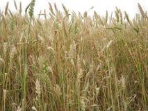 Fine dorata del campo di frumento in su Immagini Stock Libere da Diritti
