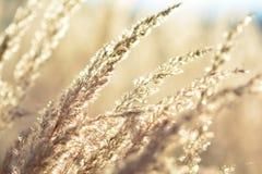 Fine dorata dell'erba su Immagine Stock