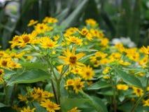 Fine drammatica sul bello piccolo divaricatum giallo del Melampodium del fiore della stella sul fondo verde del giardino immagini stock libere da diritti