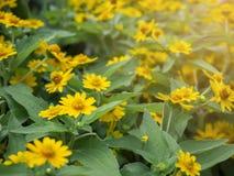 Fine drammatica sul bello piccolo divaricatum giallo del Melampodium del fiore della stella sul fondo verde del giardino immagine stock libera da diritti
