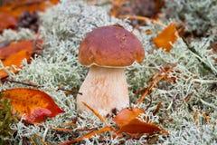Fine edulis del fungo del boletus in su Fotografie Stock Libere da Diritti