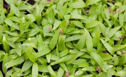 Fine fertile spessa dell'erba verde Immagini Stock