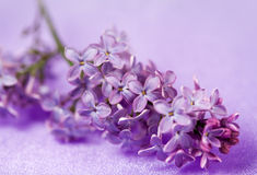 Fine flowers lilac Stock Images
