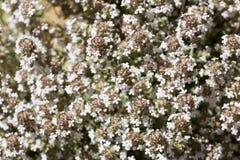 Fine fotografata vulgaris del timo su in primavera Immagine Stock