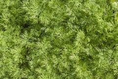 Fine fresca dell'erba dell'aneto su Fotografia Stock