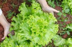 Fine fresca della lattuga dell'insalata su in mani dell'agricoltore nel fa organico Fotografia Stock Libera da Diritti