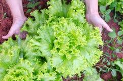 Fine fresca della lattuga dell'insalata su in mani dell'agricoltore nel fa organico Immagini Stock
