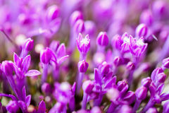 Fine fresh abstract lilac flowers close-up, macro view. Beautiful natural floral background, always fashionable modern Stock Image