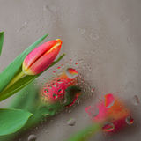 Fine fresh red tulips behind glass with rain drops. Bouquet for loved ones all occasions. Flower nature bright Stock Photos