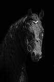 Fine frisone nera del ritratto del cavallo su Fotografie Stock
