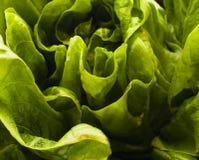 Fine frondosa organica verde della lattuga su fotografia stock libera da diritti