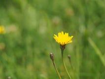 Fine gialla del fiore del dente di leone su fotografie stock