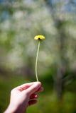 Fine gialla del fiore del dente di leone su, macro, fondo della molla Fotografie Stock Libere da Diritti