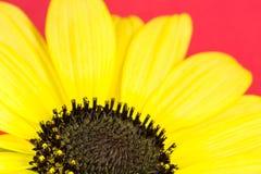 Fine gialla del girasole su Immagine Stock Libera da Diritti