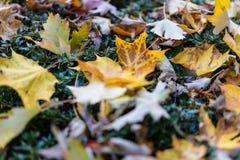 Fine gialla di autunno della foglia sulla macro di vista che risiede nel prato Immagine Stock