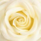 Fine gialla pastello del fiore del fose su Immagini Stock Libere da Diritti