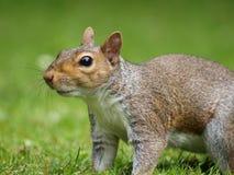 Fine grigia dello scoiattolo in su Immagine Stock Libera da Diritti