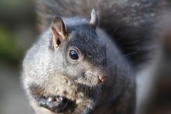 Fine grigia dello scoiattolo in su Immagini Stock