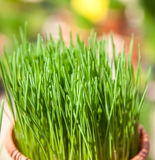 Fine grown chives Stock Photos