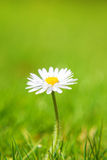 Fine grown daisy flower Stock Image