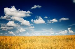 Fine harvest of golden,ripe oats. Royalty Free Stock Images
