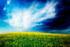 Fine image of golden plantation sunflowers. Stock Photo