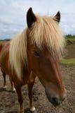 Fine islandese del cavallo su Immagini Stock