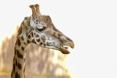 Fine isolata della giraffa sul ritratto mentre mangiando Immagini Stock