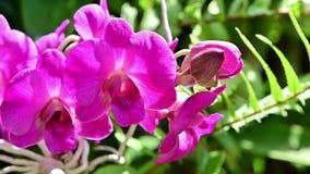 fine 4K sui fiori rosa delle orchidee nel giardino video d archivio