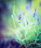 Fine lavender bush on blurred nature background. Outdoor Stock Photos