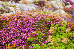 Fine-leaved heath plant Royalty Free Stock Photography