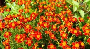 Fine-leaved marigold flowers - orange carpet of the autumn garden stock photos