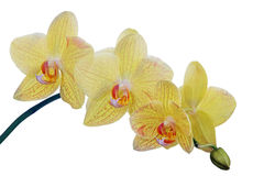 Fine lemon yellow orchids in red spots Stock Photos